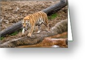 Intent Greeting Cards - Tiger on the Prowl Greeting Card by Douglas Barnett