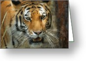 Photographs Digital Art Greeting Cards - Tiger Painterly square format  Greeting Card by Ernie Echols