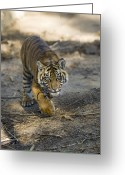 Carnivores Greeting Cards - Tiger Panthera Tigris Cub, Native Greeting Card by Zssd