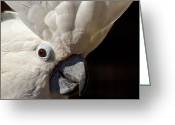 Umbrella Cockatoo Greeting Cards - Tiger Stripes Exotic Animal Sanctuary 1 Greeting Card by Dan Wells