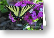 Spicebush Greeting Cards - Tiger Swallowtail Butterfly - Seasonal Garden Flower Greeting Card by Photography Moments - Sandi