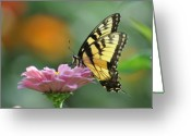 Pollinate Greeting Cards - Tiger Swallowtail Butterfly Greeting Card by Bill Cannon