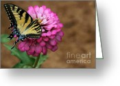Florida Flowers Greeting Cards - Tiger Swallowtail on a Pink Zinnia Greeting Card by Sabrina L Ryan