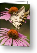 Ron Mcginnis Photography Greeting Cards - Tiger Swallowtail Greeting Card by Ron  McGinnis