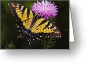 Thistle Greeting Cards - Tiger Swallowtail Greeting Card by William Jobes