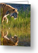 Siberian Tiger Greeting Cards - Tiger Tiger burning bright Greeting Card by Melody and Michael Watson