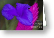 Bromeliad Greeting Cards - Tillandsia cyanea Greeting Card by Heiko Koehrer-Wagner