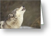 Communicating Greeting Cards - Timber Wolf Canis Lupus Howling Greeting Card by Gerry Ellis