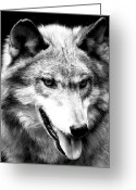 Watchful Eye Greeting Cards - Timber Wolf Greeting Card by Debra     Vatalaro