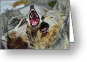 Tony Greeting Cards - Timber Wolves Greeting Card by Tony Beck