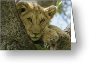 African Animals Greeting Cards - Time for a Nap Greeting Card by Michele Burgess