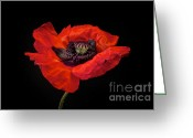 Black Greeting Cards - Tiny Dancer Poppy Greeting Card by Toni Chanelle Paisley