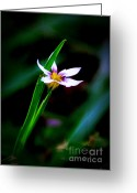 Morning Mist Images Greeting Cards - Tiny Iris Greeting Card by Judi Bagwell