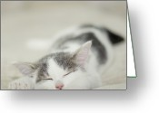 Animal Themes Greeting Cards - Tiny White And Grey Kitten Sleeping On The Couch Greeting Card by Cindy Prins