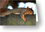 Groundhog Greeting Cards - Tired Old Squirrel . R6622 Greeting Card by Wingsdomain Art and Photography