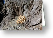Toadstools Greeting Cards - Toadstools In The Gravel Greeting Card by Will Borden