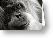 Orangutans Greeting Cards - Toba Greeting Card by Lana Trussell