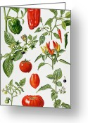Huckleberry Painting Greeting Cards - Tomatoes and related vegetables Greeting Card by Elizabeth Rice 