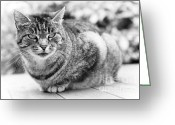 Black And White Cat Greeting Cards - Tomcat Greeting Card by Frank Tschakert