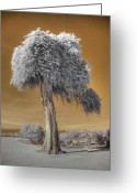 Rare Photography Greeting Cards - Torrey Pine Greeting Card by Jane Linders