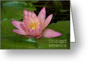 Lilly Pads Photo Greeting Cards - Touch of Pink Greeting Card by Karen Wiles
