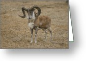 Property Released Photography Greeting Cards - Transcaspian Urial Ovis Vignei Arkal Greeting Card by Joel Sartore
