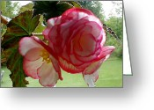 Pink Flower Prints Digital Art Greeting Cards - Translucent Begonia Greeting Card by Liz Evensen