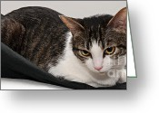 Short Hair Greeting Cards - Travel Studio Bag Cat Not Included Greeting Card by Andee Photography