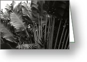 Cultivars Greeting Cards - Travellers Palm Ravenala madagascariensis Greeting Card by Sharon Mau