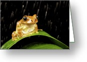Frog Greeting Cards - Tree Frog In Rain Greeting Card by MarkBridger