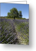 Fragrance Greeting Cards - Tree in a field of lavender. Provence Greeting Card by Bernard Jaubert