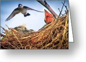 Wildlife Photo Greeting Cards - Tree Swallows in nest Greeting Card by Bob Orsillo