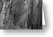 Bare Tree Greeting Cards - Trees Along Sandymount Track, New Zealand Greeting Card by Atan Chua