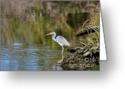 Tricolor Greeting Cards - Tricolored Heron Fishing Greeting Card by Al Powell Photography USA