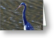Audubon Greeting Cards - Tricolored Heron Pose Greeting Card by Al Powell Photography USA