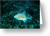 Marine Animal Greeting Cards - Triggerfish Swimming Over Coral Reef Greeting Card by James Forte