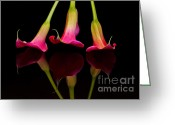 Calla Lily Greeting Cards - Trio Reflections Greeting Card by Susan Candelario