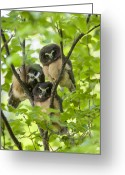 Alaska Greeting Cards - Triple Cute Saw-whet Owls Greeting Card by Tim Grams