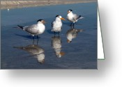 Tern Greeting Cards - Triple Tern Greeting Card by Phil Stone