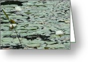 Lily Pad Greeting Cards Greeting Cards - Triple Water Lilies Greeting Card by Barbara S Nickerson