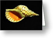 Skeletal Greeting Cards - Triton Trumpet Seashell Cymatium tritonis Greeting Card by Frank Wilson