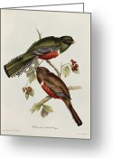 Litho Greeting Cards - Trogon Collaris Greeting Card by John Gould