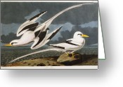 Drawing Of Bird Greeting Cards - Tropic Bird Greeting Card by John James Audubon
