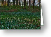 Forest Floor Photo Greeting Cards - Trout Lilies on Forest Floor Greeting Card by Steve Gadomski