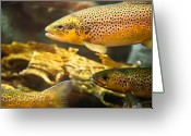 Fly Greeting Cards - Trout swiming in a River Greeting Card by Bob Orsillo