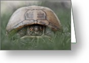 Camera Greeting Cards - Trutle Emerges From Its Shell Greeting Card by Christopher Kimmel