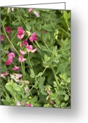 Food Source Greeting Cards - Tuberous Pea (lathyrus Tuberosus) Greeting Card by Bob Gibbons
