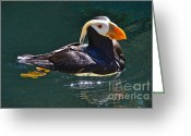 Seabirds Greeting Cards - Tufted Puffin Greeting Card by Sean Griffin