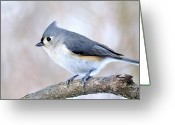Titmouse Greeting Cards - Tufted Titmouse on Dogwood 3 Greeting Card by Thomas R Fletcher