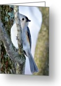 Titmouse Greeting Cards - Tufted Titmouse on Dogwood Greeting Card by Thomas R Fletcher